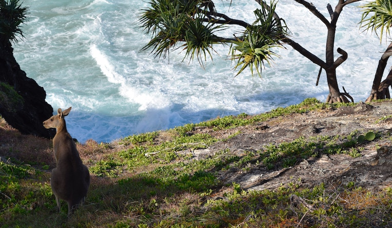 kangaroo standing near the ocean
