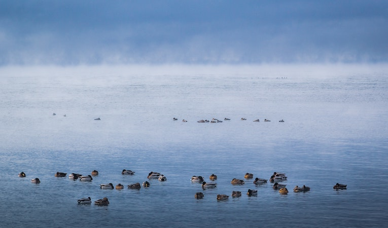 ducks on a lake in kingston, ontario